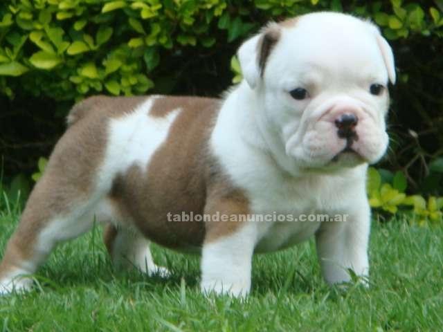 Animales/Mascotas: Excelentes cachorros bulldog inglés,