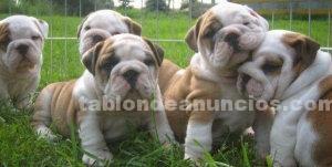 Animales/Mascotas: Masculino y femenino encantador toro perros para su aprobación