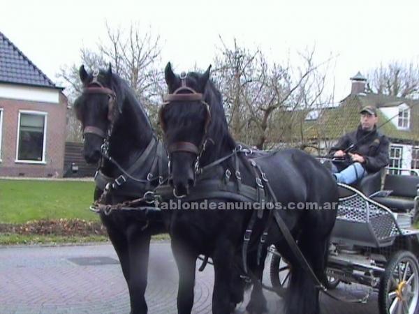 Animales/Mascotas: Dos caballos castrados friesian para su aprobación