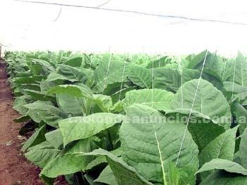 Otros: Cultiva tu propio tabaco en casa. Gratis o 7 dolares