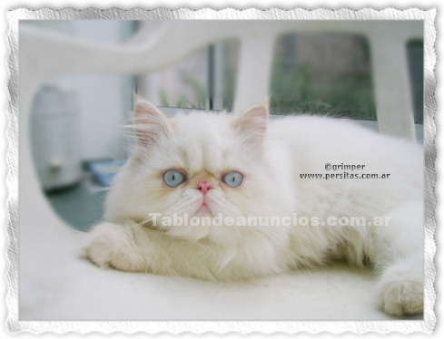Animales/Mascotas: Gatito himalaya macho, color red point