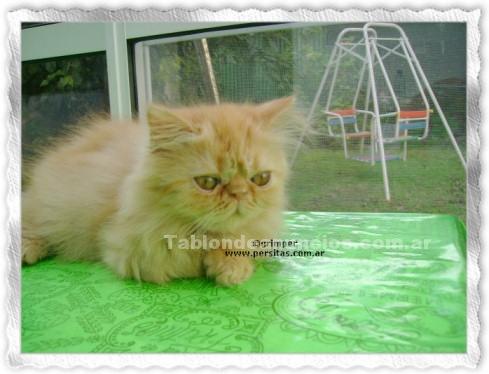 Animales/Mascotas: Gatito persa macho, color rojo