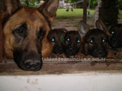 Animales/Mascotas: Vendo cachorros ovejero alemÁn