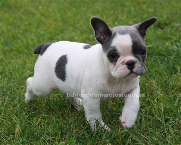 Animales/Mascotas: Francés cachorros bulldog de una familia hermosa