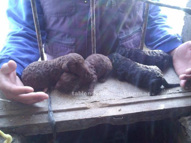 Animales/Mascotas: Cachorros de perro de aguas a buen precio