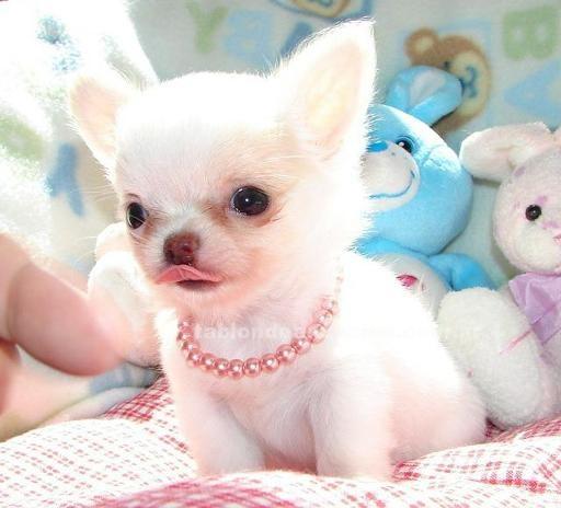 Animales/Mascotas: Tenemos dos cachorros chihuahua que estamos