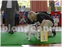 Animales/Mascotas: Afectuoso cachorros bulldog inglés blanca a dejar ir