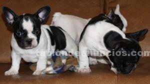Animales/Mascotas: Magnificas cachorritas de bulldog france