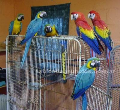 Animales/Mascotas: Loros grisses para la venta  240 euros