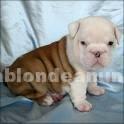 Animales/Mascotas: Excelentes cachorros bulldog inglés para su aprobación