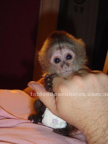 Animales/Mascotas: Adorable bebé mono capuchino para su aprobación