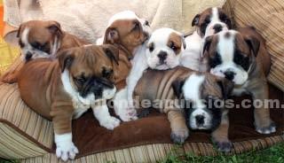Animales/Mascotas: Tenemos cachorros de buldog ingles para re homing