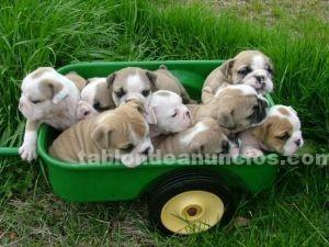 Animales/Mascotas: Inglés cachorros bulldog para su aprobación