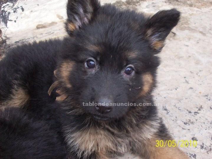 Animales/Mascotas: Ovejero aleman cachorros