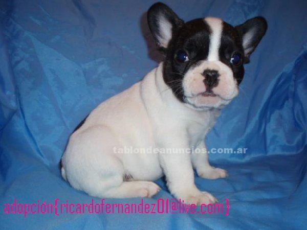 Otros: Precioso bulldog francés cachorros para su aprobación
