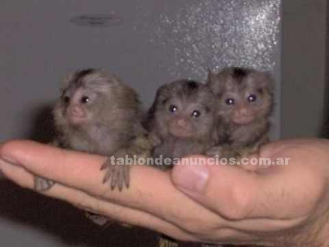 Animales/Mascotas: Dos   monos titis para la venta 150 euros