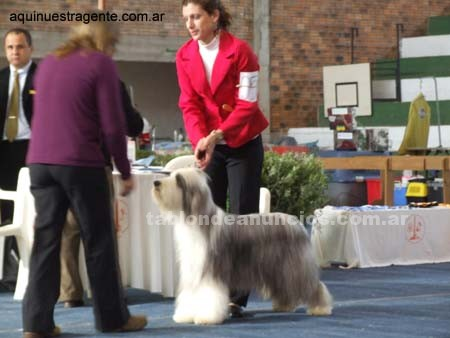 Animales/Mascotas: Vendo cachorros bearded collie