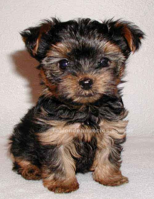 Animales/Mascotas: Buscando un yorkie cachorros para adoptar? simplemente póngase en contacto