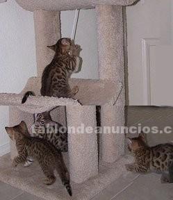 Animales/Mascotas: F1, f2, f3, f5 gatitos sabanas y bengala para la venta
