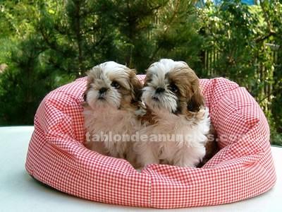 Animales/Mascotas: Registrados cachorros shih tzu.