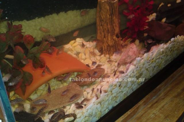 Animales/Mascotas: Peces ciclidos archocentrus nigrofasciatius o convicto, vendo/cambio!