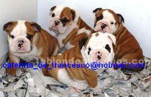 Animales/Mascotas: Bulldog cachorros 4-140 €.