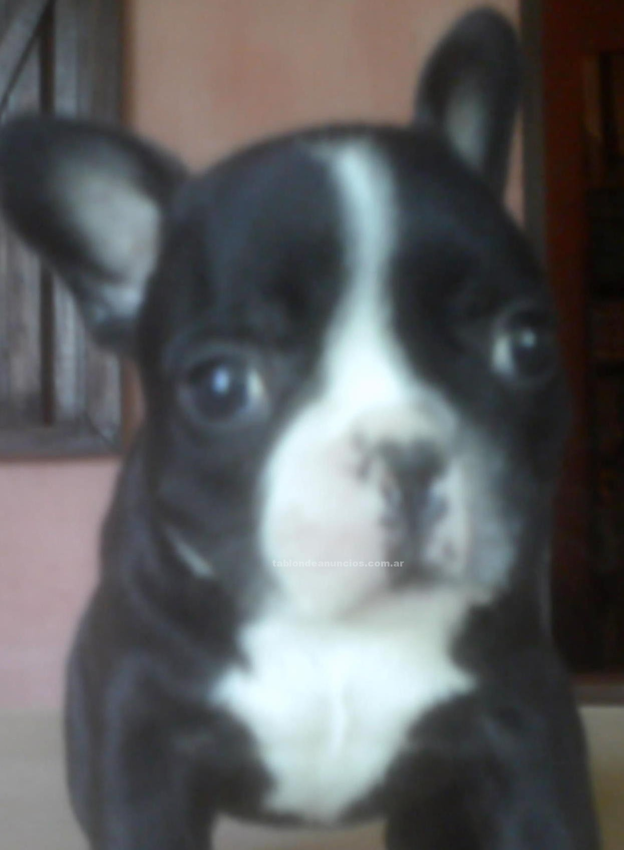 Animales/Mascotas: Excelentes cachorros bull dog frances