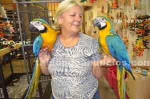 Animales/Mascotas: Loros guacamayos para los nuevos hogares.