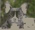 Bulldog francés , gran oporunidad