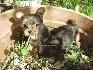 Yorkshire terrier cachorras de lujo