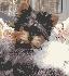 Yorkshier terrier lineas de campeones