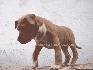 Cachorros staffordshire con fca al precio de pitbull terrier sangre demonix